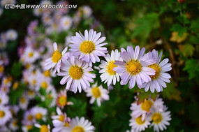 小巧可爱的白色小菊花