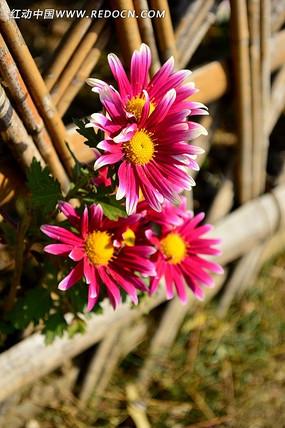 篱笆边的灿烂小菊花
