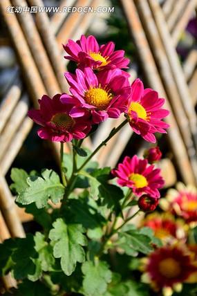 灿烂盛开的枚红色小菊花
