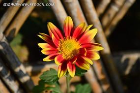 灿烂盛开的菊花
