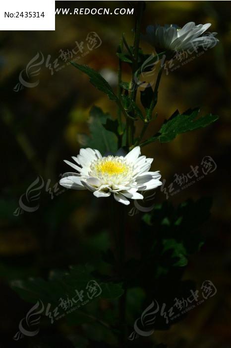 小巧可爱的白色菊花图片