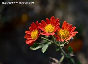 小巧可爱的菊花