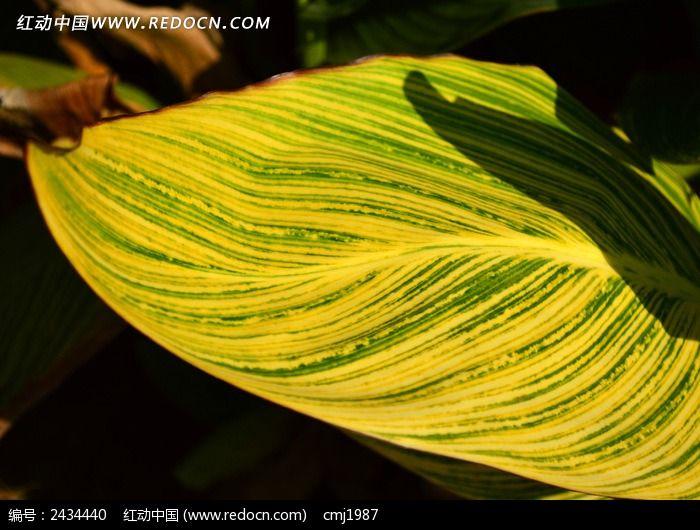 美丽的美人蕉叶子图片