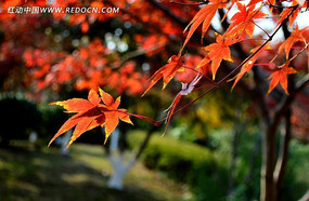 树枝上的橘红色枫叶