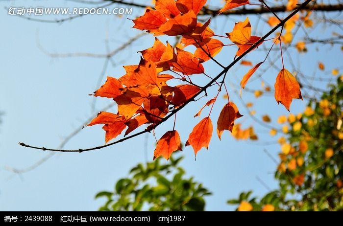 树枝上的橘红色叶子图片