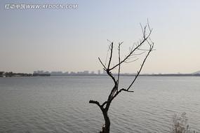 苏州石湖边的枯树