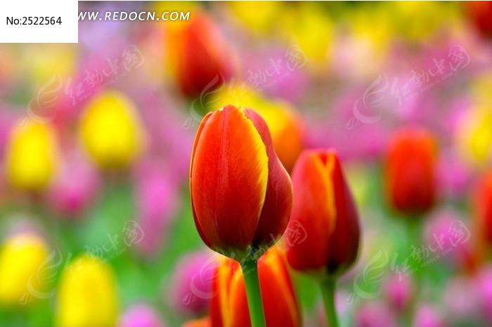 郁金香花苞图片