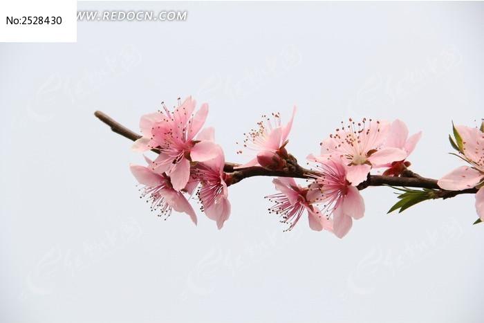 一只盛开的桃花图片