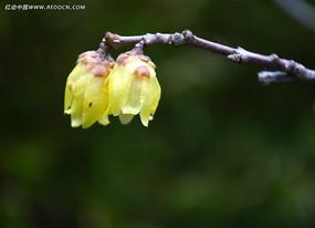 盛开的黄色腊梅