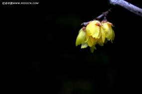 黄色腊梅盛开