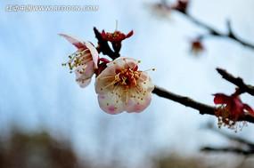 白中带粉的梅花