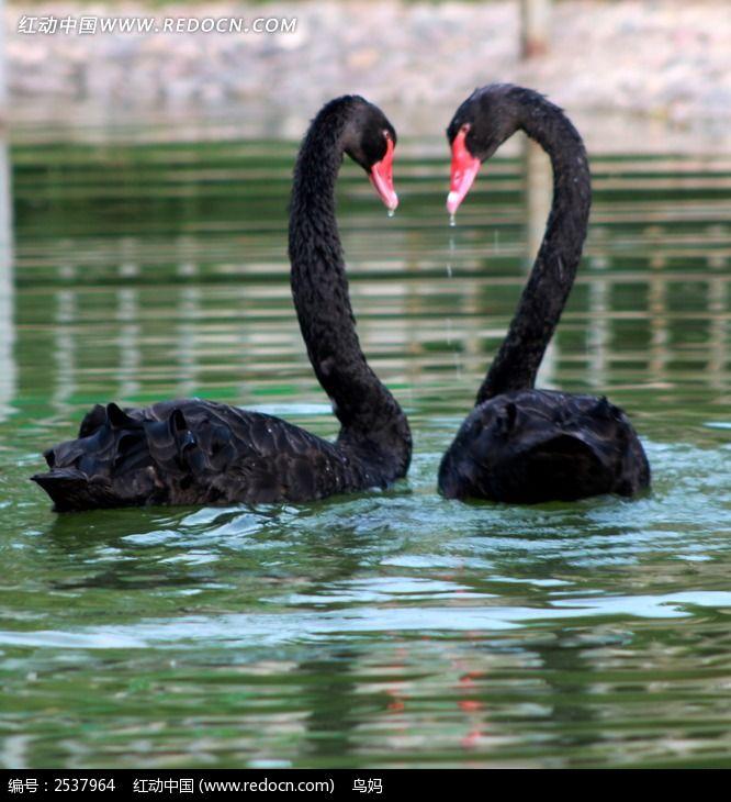 黑天鹅图片