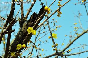 黄色腊梅花盛开