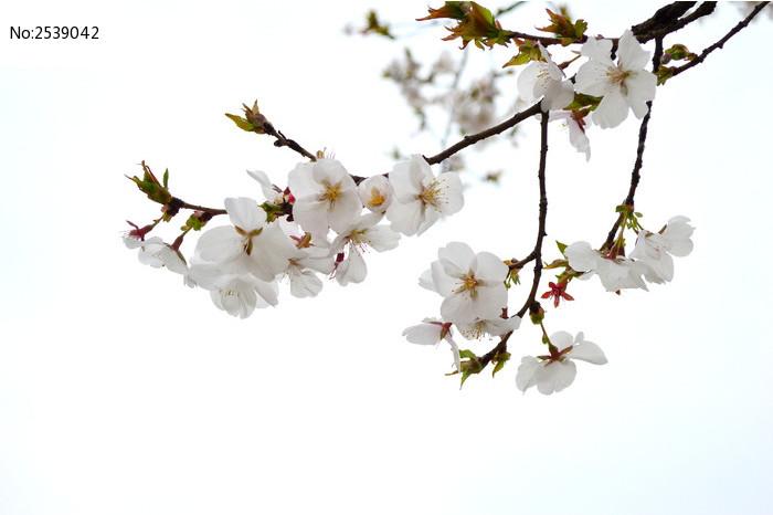 树枝上洁白的樱花图片