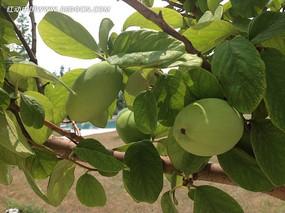 綠色香妃梨