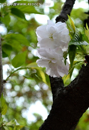 白中带粉的樱花
