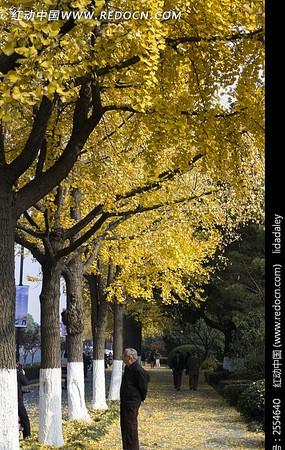 路旁的银杏树