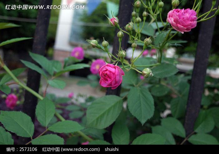 蔷薇花开了
