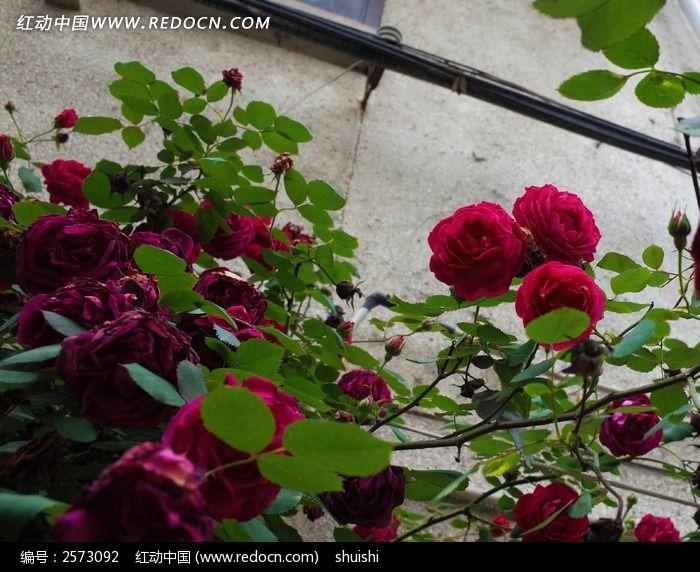 深红色的蔷薇花图片