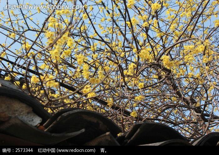 黄色腊梅图片