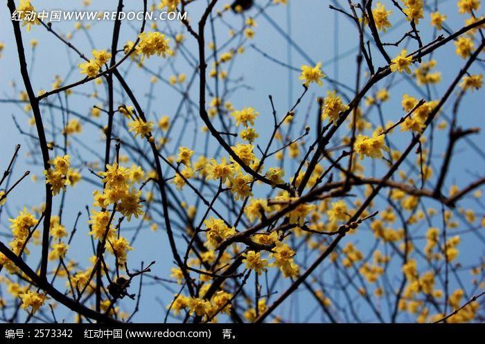 腊梅花枝图片