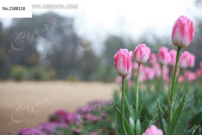 粉色郁金香与草地图片