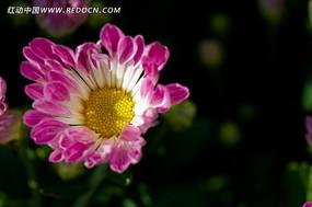 粉红色菊花黄色花蕊