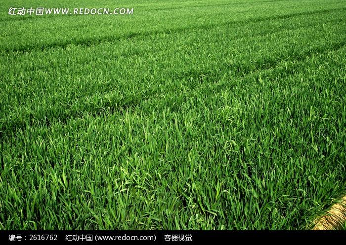碧绿的麦田图片