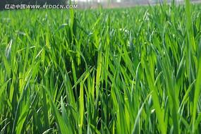 碧绿的麦苗高清大图