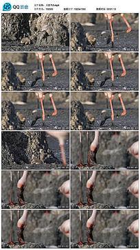 刚孵化出的小火烈鸟视频