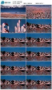 高清火烈鸟视频素材