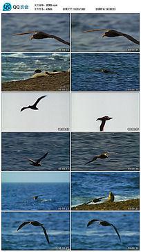 海洋上空飞行的巨鹱鸟视频