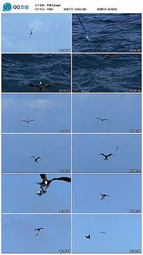 海洋上空飞行的军舰鸟
