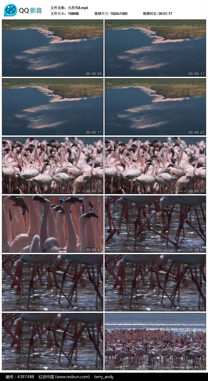 航拍火烈鸟群视频素材图片