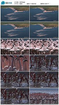 航拍火烈鸟群视频素材