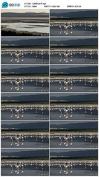 红鹤群吃水草视频素材