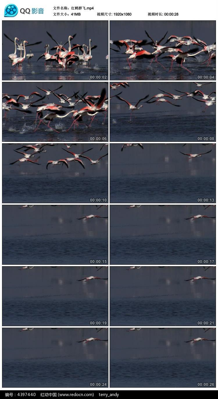 红鹤群飞视频素材图片