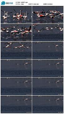 红鹤群飞视频素材
