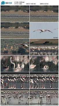 红鹤群视频素材