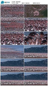 宏伟壮观的火烈鸟群