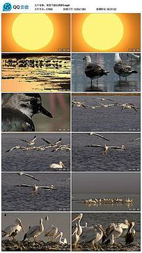 黄昏下的红鹤群视频素材