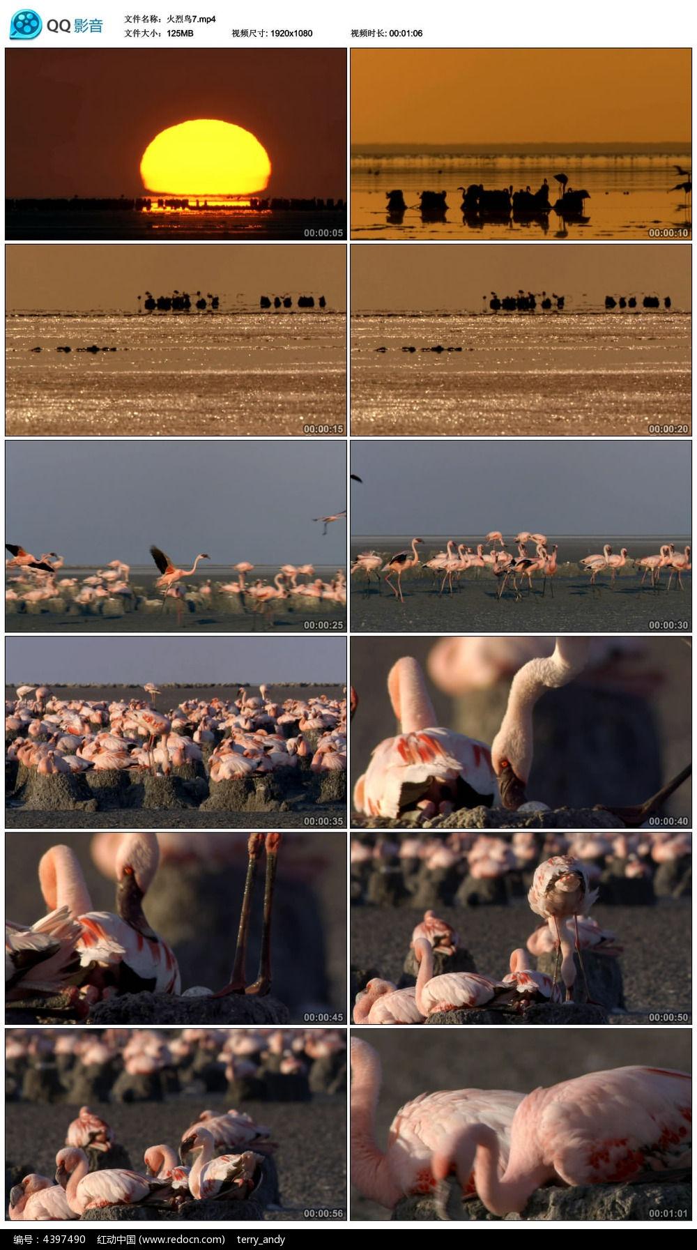 黄昏下的火烈鸟视频图片