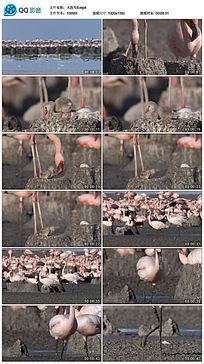 火烈鸟孵化小火烈鸟视频