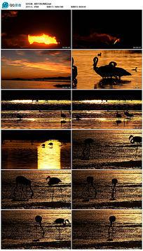 日落黄昏下的红鹤群视频素材