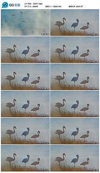 特写实拍火烈鸟视频素材