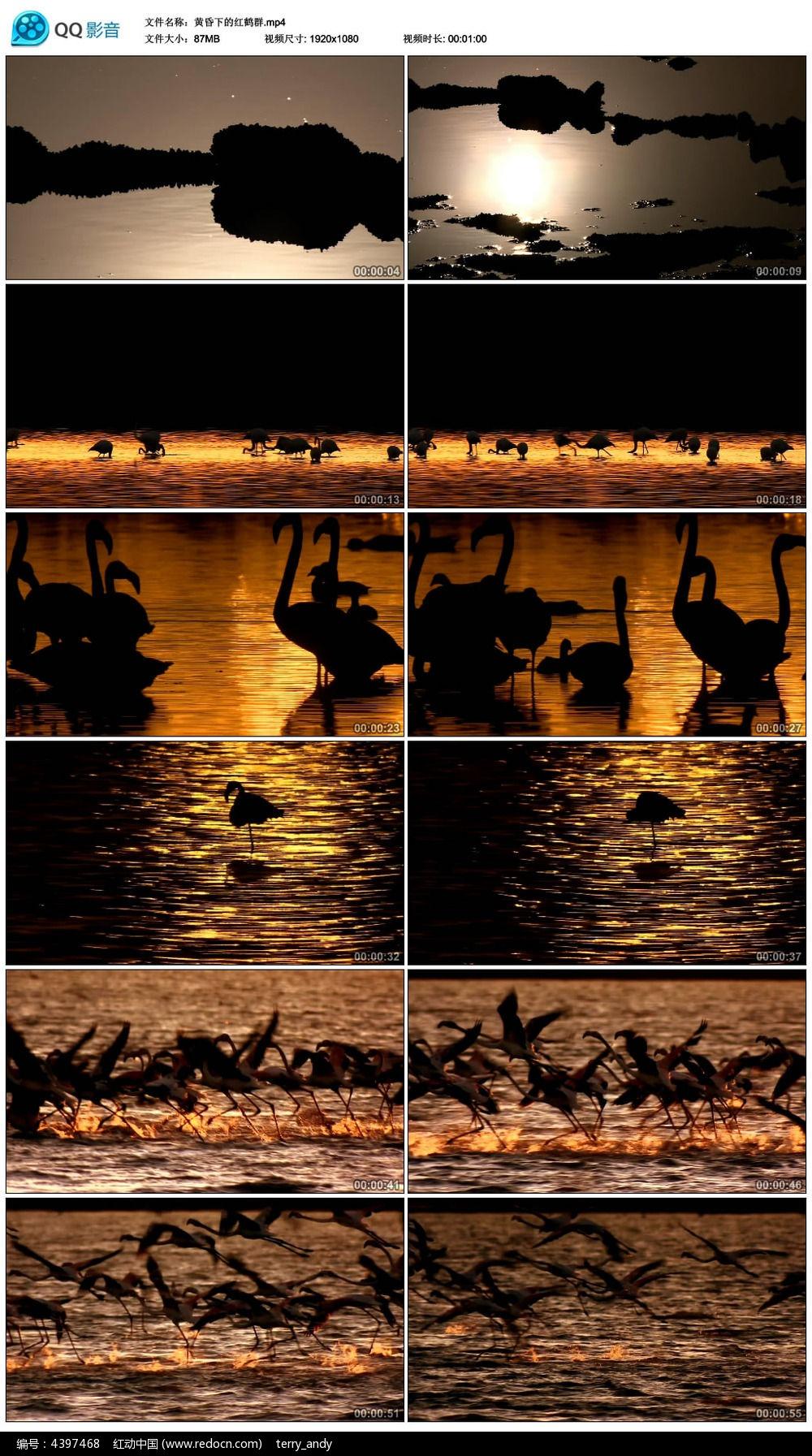 唯美黄昏下的红鹤群视频素材图片