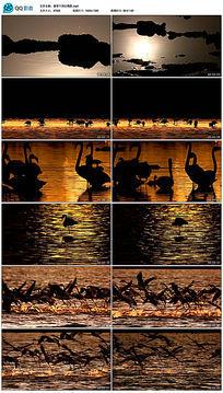 唯美黄昏下的红鹤群视频素材