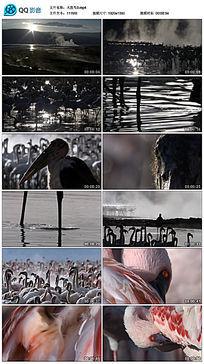 沼泽地里面火烈鸟视频