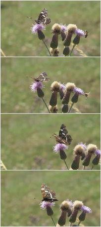 灰色花纹蝴蝶与花视频素材