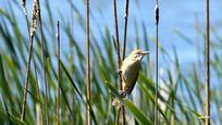 芦苇丛中的麻雀